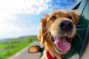 How to Keep Your Dog Safe While Driving